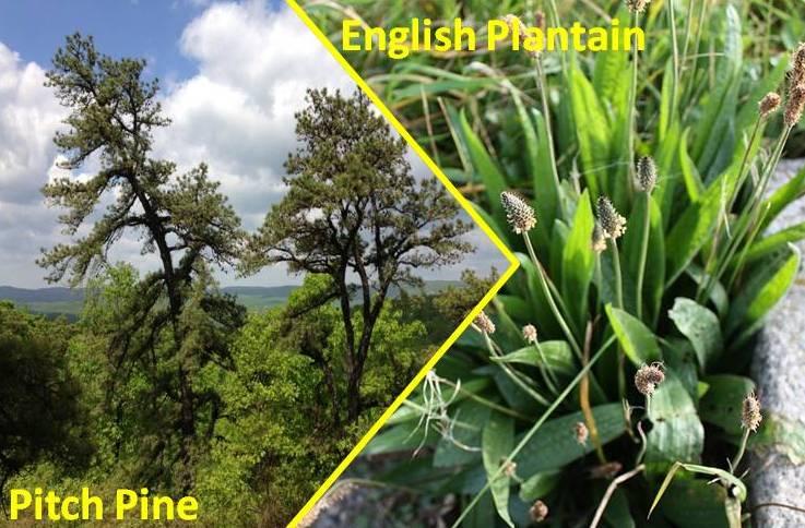 pine tree pollen Archives | Asthma Center